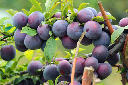 Bunch of plums on a tree branch in a garden