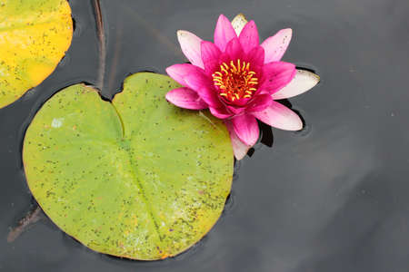 Water lilies Nymphaea flowers in a pond