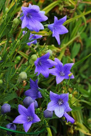 Platycodon grandiflorus or Chinese bellflower in a garden