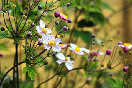 Japanese thimbleweed (Anemone hupehensis) in a garden Zdjęcie Seryjne
