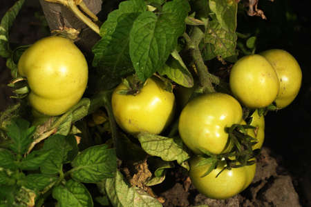 Bunch of green tomatoes on a stem