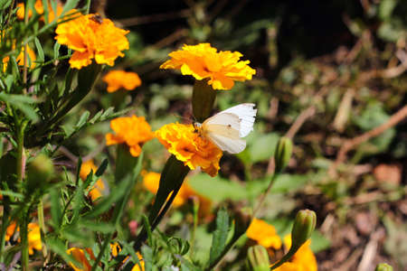 Large white butterfly (Pieris brassicae) on yellow marigold flowers