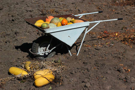 Zucchini squash crop on a wheelbarrow, abundant agricultural produce concept