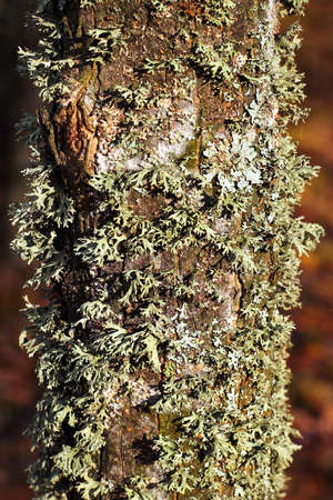 Evernia prunastri, or oakmoss lichen on a tree trunk