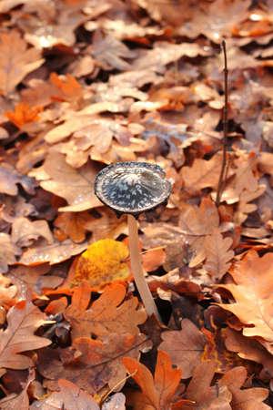 Coprinus comatus, shaggy ink cap mushroom 免版税图像