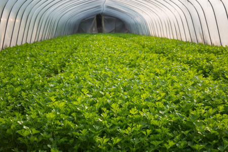 reclamation: Greenhouse vegetables Stock Photo