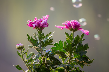 natural force: Chrysanthemum