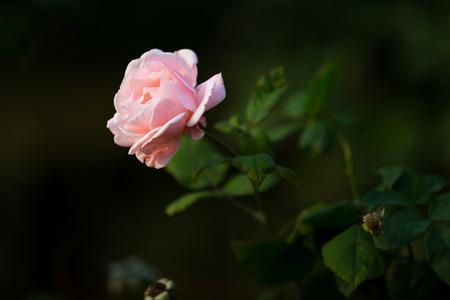 natural force: Pink roses