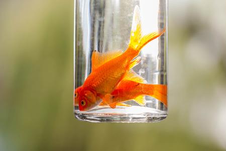 golden fish: golden fish in the Bottle