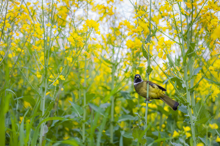 pulsatilla: Perched on canola flower of Pulsatilla