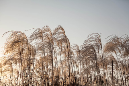 natural force: Reed under the sun Stock Photo