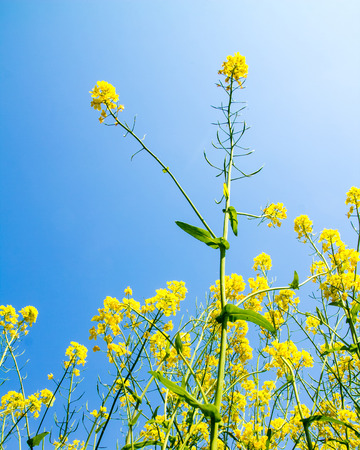 biodiesel: Canola, yellow Rapeseed flowers grown as cooking oil or conversion to biodiesel