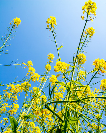 Canola, yellow Rapeseed flowers grown as cooking oil or conversion to biodiesel