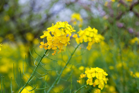 oilseed: Flowering oilseed rapeseed Stock Photo