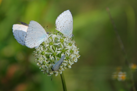 gossamer: Close up of gossamer winged butterflies on the top of chives flowers