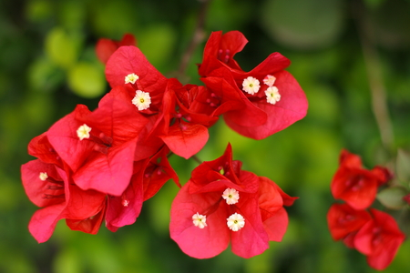 bougainvilleas: Close up of Bougainvilleas flowers Stock Photo