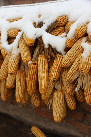 Snow covered corns hanging on the roof in the countryside photo