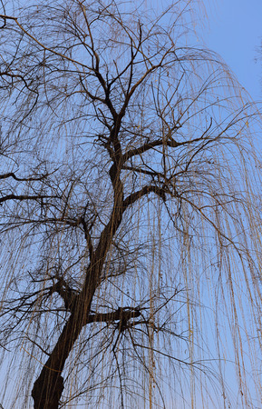 weeping willow: Bald weeping willow against blue sky