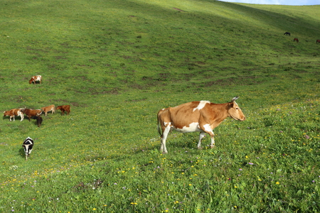 cattle grazing: Cattle grazing on the high mountain grassland Stock Photo