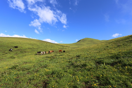 cattle grazing: Cattle grazing on the high mountain grassland,