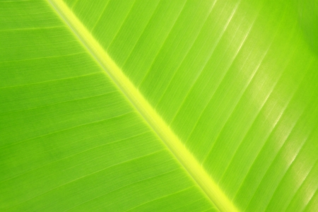 closeup of banana leaf texture in the wild Stock Photo - 18575974
