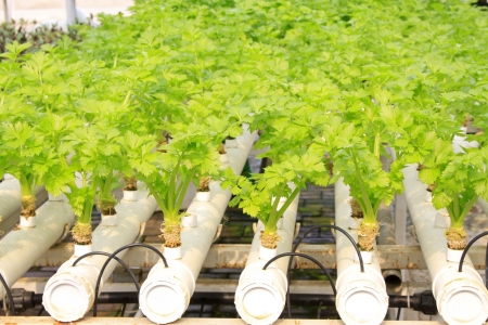 Soilless cultivation of green vegetables in a botanical garden Stock Photo