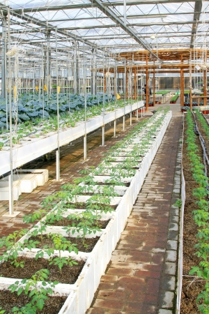 soilless cultivation: LETING COUNTY OF HEBEI PROVINCE - FEBRUARY 24: Soilless cultivation green vegetables in the Leting modern agricultural garden on February 24, 2013, Leting County, Hebei Province, China  Stock Photo