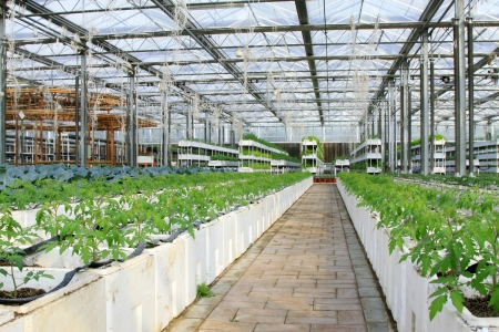 Soil less cultivation green vegetables in the Leting modern agricultural garden  photo