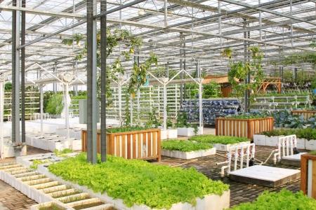 Soil less cultivation green vegetables in the Leting modern agricultural garden   Standard-Bild