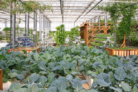 Grow sturdily broccoli in the Leting modern agricultural garden Stock Photo - 18705494