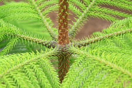 野生のナンヨウスギ属の茎のクローズ アップ 写真素材
