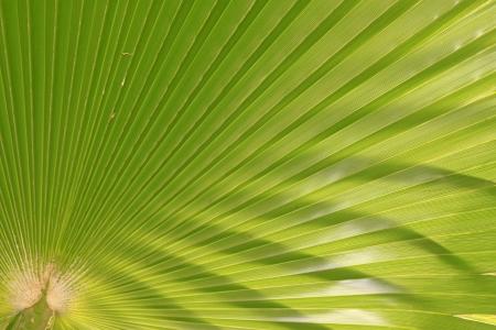 closeup of livistona palm leaves in a garden Stock Photo - 18805659
