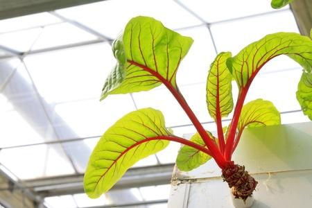 soilless cultivation: red beet vertical soilless cultivation in a botanical garden Stock Photo