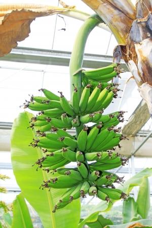 banana bunch in a plantation, closeup of photo  Stock Photo - 18803559