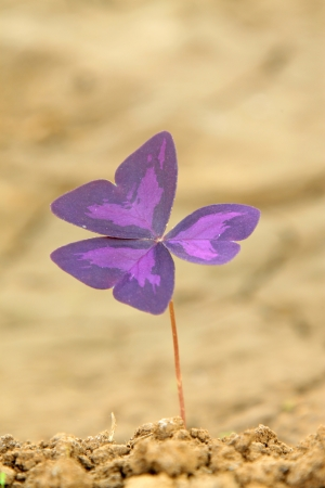 closeup of oxalis corniculata flowers