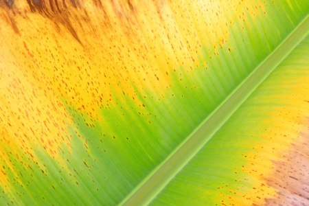 closeup of colorful fresh banana leaf texture Stock Photo - 18805088