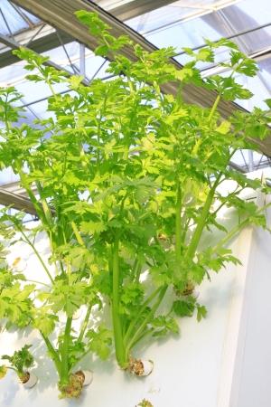 soilless cultivation: Soilless cultivation of green vegetables in a botanical garden Stock Photo
