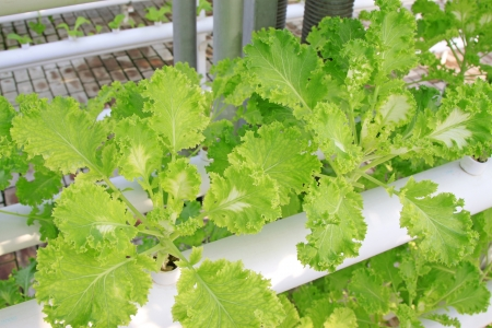 Soilless cultivation of green vegetables in a botanical garden photo