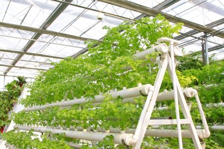 Leting 現代農業庭園にセロリを植えてステレオ 写真素材