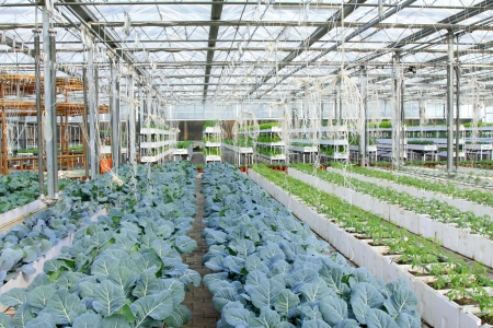 Grow sturdily broccoli in the Leting modern agricultural garden