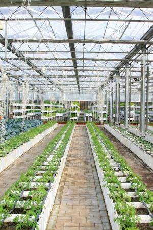 soilless cultivation: Soilless cultivation green vegetables in the Leting modern agricultural garden