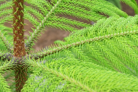 closeup of araucaria stalk in the wild photo
