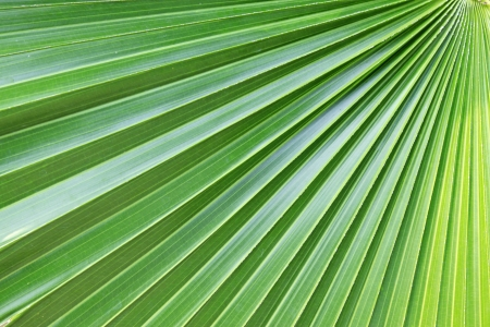 closeup of livistona palm leaves in a garden Stock Photo - 18867108