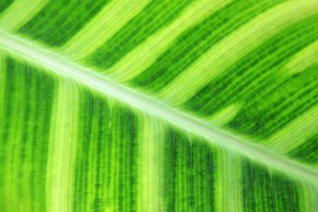 緑の新鮮な葛刃テクスチャのクローズ アップ
