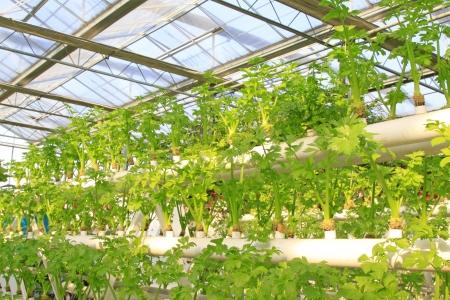 modernization: Soilless cultivation of green vegetables in a botanical garden Stock Photo