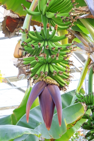 banana bunch in a plantation, closeup  Stock Photo - 18881751