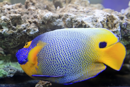 marine coral: blue tang, marine coral fish Stock Photo