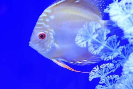 Tropical fish on a blue, in a aquarium Stock Photo - 19007607