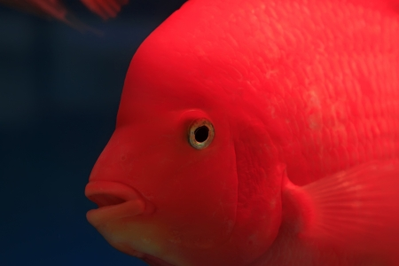 red tropical fish in an aquarium Stock Photo - 19007016