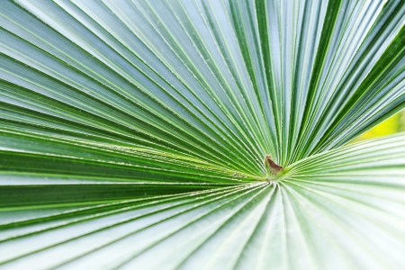 closeup of livistona palm leaves in a garden Stock Photo - 19150111